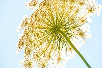 wild carrot, flower of the wildflower.