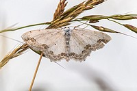 A lace border is sitting on a grass-stock.