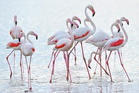 Greater Flamingo (Phoenicopterus roseus) group walking in water, Camargue, France.
