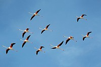 Greater Flamingo (Phoenicopterus roseus) group flying against blue sky, Camargue, France.