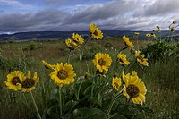 Columbia River Gorge, Oregon, USA; Balsamroot and Lupine wildflowers.