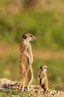 Suricate (Suricata suricatta). Also called Meerkat. Adult with young on the lookout. During the rainy season in green surroundings. Kalahari Desert, K...