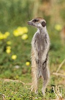 Suricate (Suricata suricatta). Also called Meerkat. Guard on the lookout. During the rainy season in green surroundings and with yellow Devil's Thorn ...