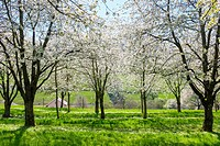 Germany, Baden-Württemberg, Schliengen. Blossoming cherry trees in the Eggenertal Valley in early spring.