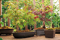 Bonsai maple forest in porch container garden