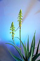 Aloe (Aloe vera), medicinal plant