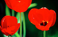 Backlit red tulips against dark background with green stems