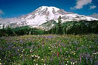 Summer wildflowers bloom in Paradise Valley. Mt. Rainier NP. Washington. USA