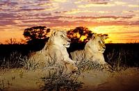 Lions (Panthera leo) at sunrise. Kgalagadi Transfrontier Park (formerly Kalahari-Gemsbok National Park). South Africa