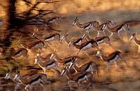 Springbok (Antidorcas marsupialis), running down dune after sighting a cheetah. Kgalagadi Transfrontier Park (formerly Kalahari-Gemsbok National Park)...