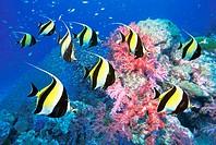 Moorish idols with coral reef. Similan Island nr. 5, Andaman Sea, Thailand.