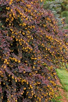 Japanese Barberry (Berberis thunbergii)