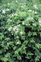 Angelwing, Shining or Star Jasmine (Jasminum nitidum)