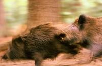 Wild Boars (Sus scrofa). Bavarian forest, Bavaria. Germany