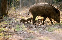 Wild boars (Sus scrofa). Bavarian Forest. Bavaria, Germany