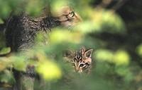 Wildcats (Felis silvestris). Bavarian Forest. Bavaria, Germany