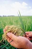 Hand holding rice plant. Venezuela