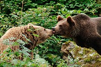 One and a half years old brown bear cub (Ursus arctos) licking the snout of his mother. Captives. Bavarian Forest National Park. Bavaria. Germany