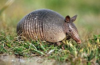 Nine Banded Armadillo or Common Long-Nosed Armadillo. Florida. USA