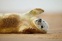Grey seal pup rolling in the sand, North Sea, UK