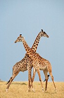 2 Male Giraffes fighting