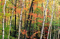 Birch trees mixed in with trees in autumn colors - horizontal
