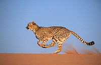 Cheetah (Acinonyx jubatus), running. Game farm, Namibia (captive)