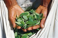 Harvesting coca leaves for traditional use. Los Yungas. Bolivia