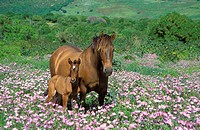 Mare with foal in a flowery spring meadow near Tarifa. Province of Cádiz, Andalucía, Spain.