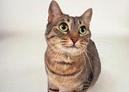 Cat Cerdiwin (female) photographed in studio in Boston. USA.