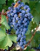 Cabernet Sauvignon grapes. Prosser, Yakima Valley appellation. Eastern Washington, USA