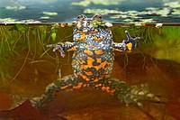 Fire-Bellied Toad. Bombina bombina. Schleswig-Holstein, Germany