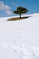 Scots Pine (Pinus sylvestris)