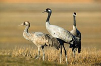 Cranes. Laguna de Gallocanta area, Zaragoza province. Aragón, Spain