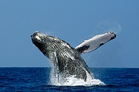 Humpback whale, Megaptera novaeangliae, breaching, Kailua-Kona, Big Island, Hawaii (Pacific)