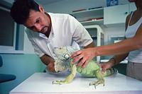 Taking care of a Iguana´s claws. CRARC (Centre de Recuperació d´Amfibis i Reptils de Catalunya) lab, Masquefa, Barcelona province, Spain