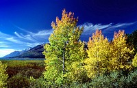 Autumn cottonwood trees light up in the late afternoon light with the Grand Tetons in the background, Wyoming, USA