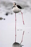 Black-necked Stilt (Himantopus himantopus).