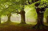 Beechwood (Fagus sylvatica). Urkiola National Park. Vizcaya province. Spain.