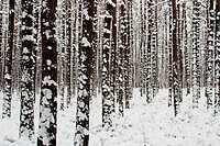 Winter forest after blizzard in Franconia - Bavaria / Germany