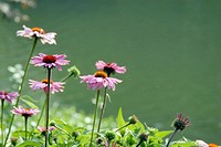 Sun-kissed, pink daisy plants on the shore of a pond.