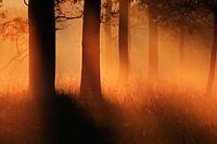 Misty morning, trees in fog