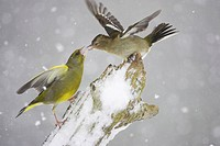 Greenfinch  (Carduelis chloris) male fighting with Chaffinch (Fringilla coelebs) female in snow. Scotland. February 2006.