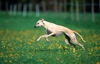 Aragian Greyhound