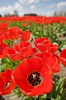 ´Apeldoorn´ Tulips in farm field, close wide_angle view (Tulipa ´Apeldoorn´). Mt. Vernon, WA.