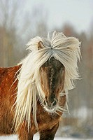 Icelandic horse. Sweden