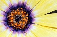 A closeup of an osteospermum flower.