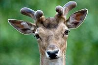 Fallow Deer (Cervus dama). Schleswig-Holstein, Germany