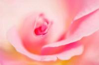 Pink Rose Close_up. Rosa hybrid. May 2007, Maryland, USA