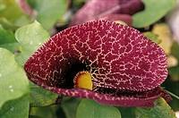 Calico Flower (Aristolochia littoralis)